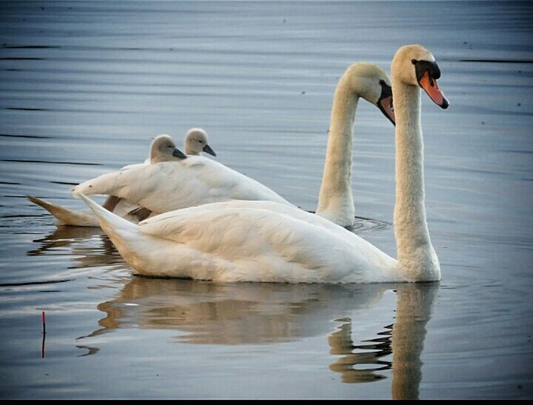 😊happy family😊 Animals In The Wild Water Swan Swimming Reflection Lake Beauty In Nature Outdoors Check This Out Taking Photos From My Point Of View Ireland🍀 Happy Family Enjoying The View Eyeem2017 Enjoying Life