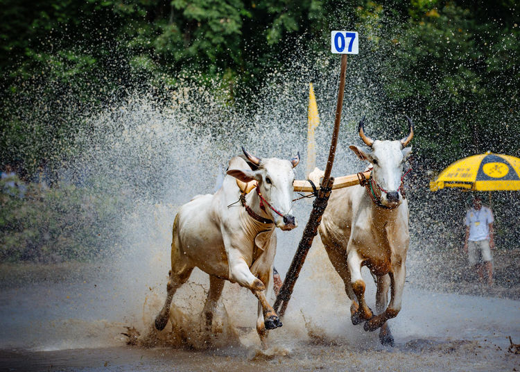 Bulls Running On Muddy Field During Race