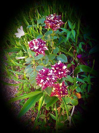 Brasil Brazil Brazilo Flowers Flores Floroj Gardens Jardins Flower Nature Plant