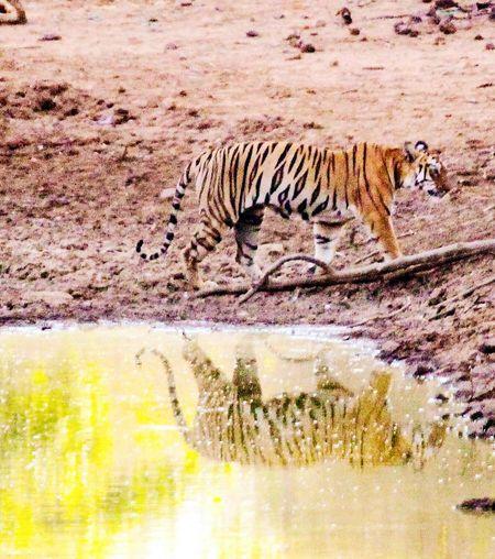 Taking Photos Tigress Maya Tadoba Tiger Reserve Reflections In The Water Summer Days