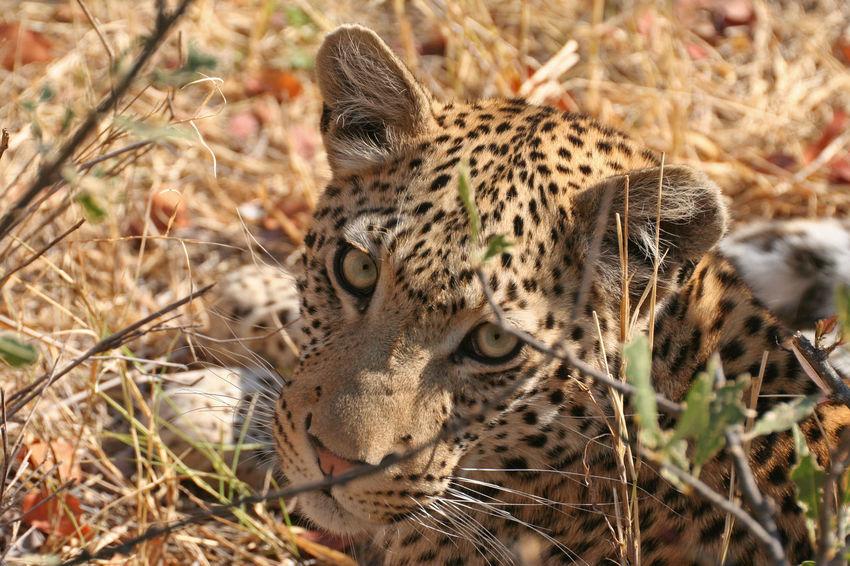 African Leopard staring at camera in okavango - Botswana African Beautiful Animals  Big Cats Botswana Carnivore Curiosity Elusive Game Drive Leopard Moremi Okavango Delta Relaxing Safari The Big Five Wildlife Wildlife Photography