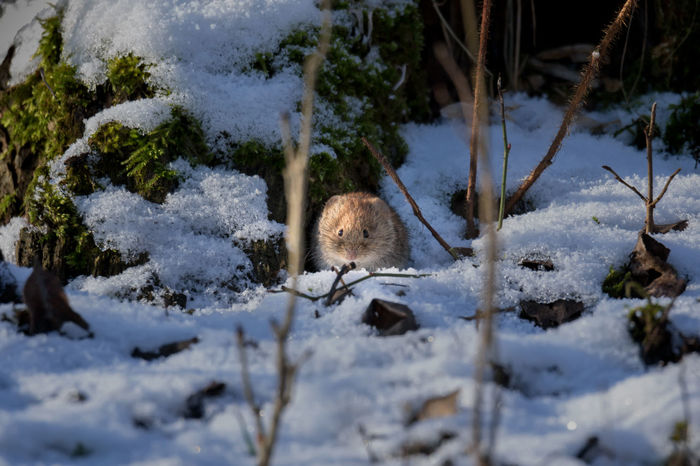 tiny vole in snow Tiny Animal Themes Animals In The Wild Beauty In Nature Close-up Cold Temperature Day Field Mouse Mammal Mouse Nature No People One Animal Outdoors Rodent Snow Vole Winter