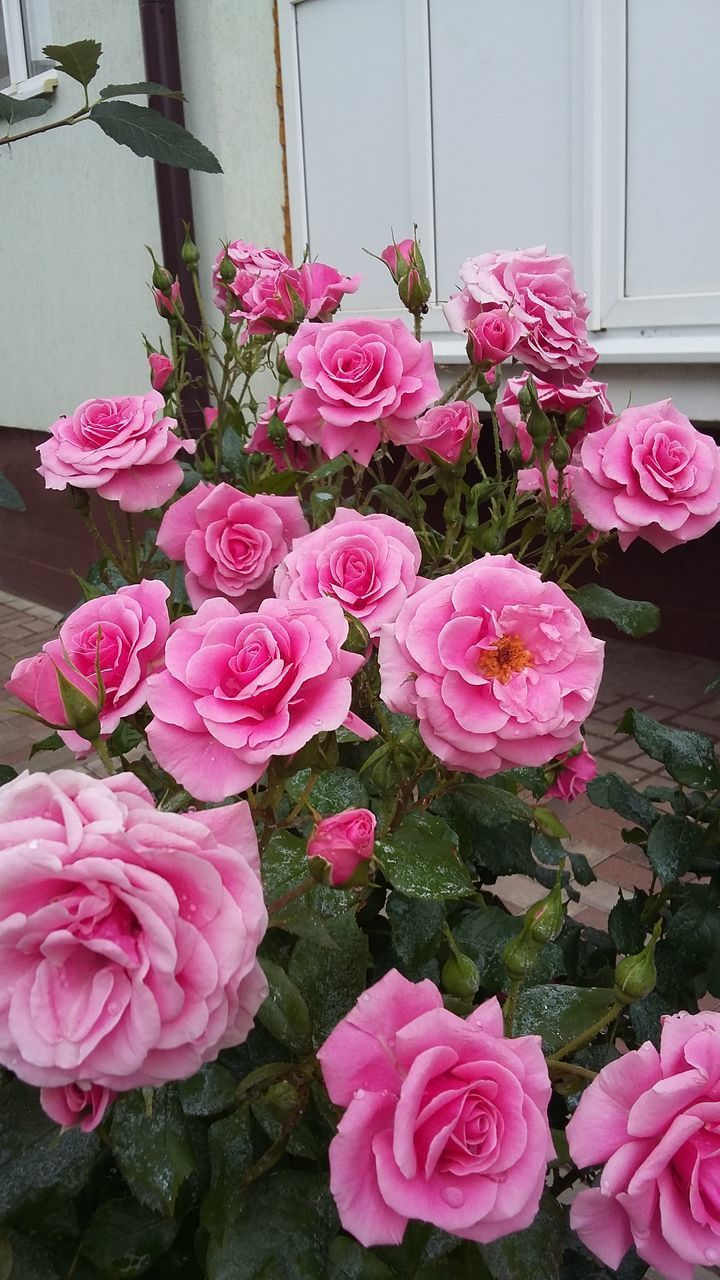 flower, pink color, petal, fragility, no people, nature, beauty in nature, growth, rose - flower, day, flower head, plant, pink, freshness, outdoors, blooming, close-up, architecture