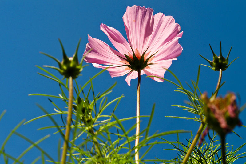 Close-Up Of Pink Cosmos Flower Against Blue Sky