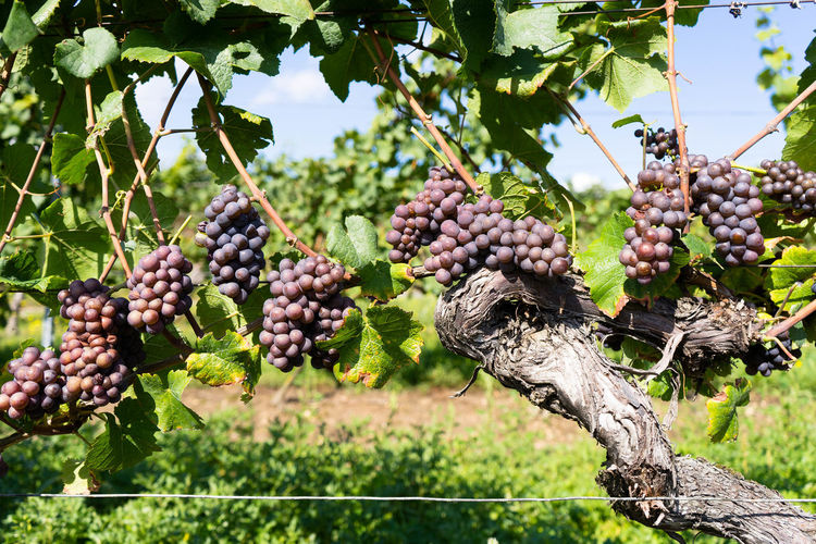 Agriculture Beauty In Nature Bunch Close-up Day Focus On Foreground Food Food And Drink Freshness Fruit Grape Green Color Growth Hanging Healthy Eating Nature No People Outdoors Plant Tree Vine - Plant Vineyard Winemaking