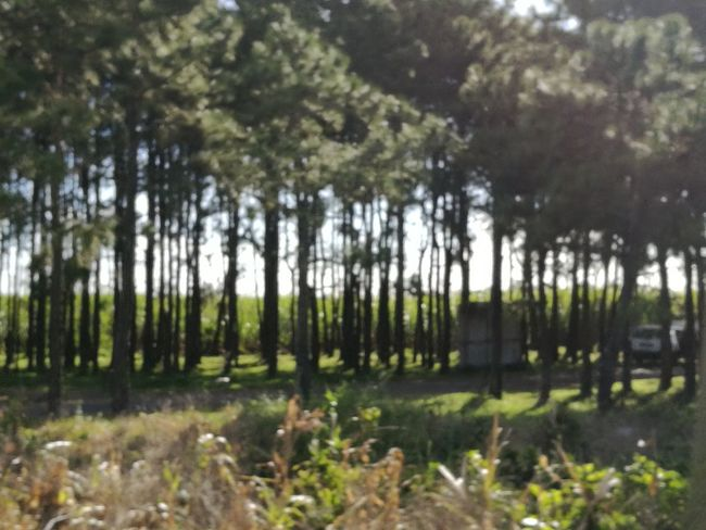 Growth Pine Forest Alignment Of Trees No People Outdoors Scenics