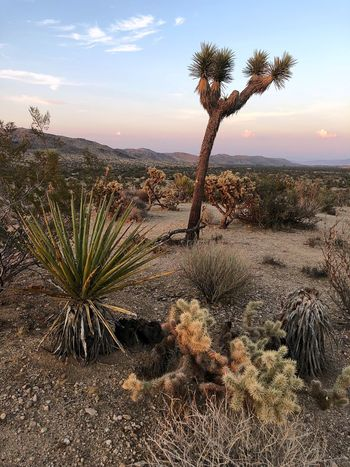 Cactus Joshua Tree Sky Plant Growth Tranquility Tranquil Scene Sunset Landscape No People