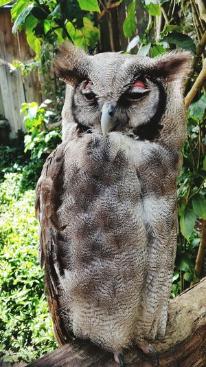 Animals Jodyvford Owls South Africa