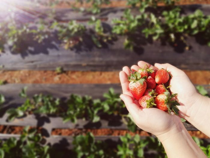Cropped hands holding strawberries at farm