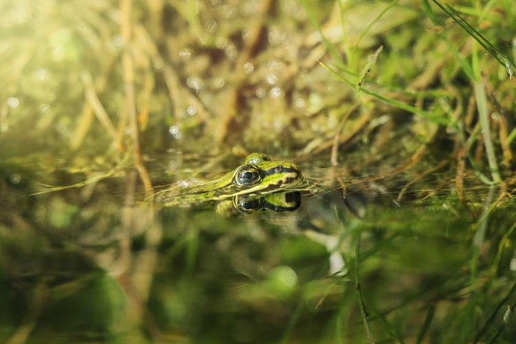 Gut getarnt Wasser Naturfotografie Frosch Eyeemphotography EyeEm Nature Lover Animal Wildlife Natur Frog Water Close-up Animal Eye Swamp