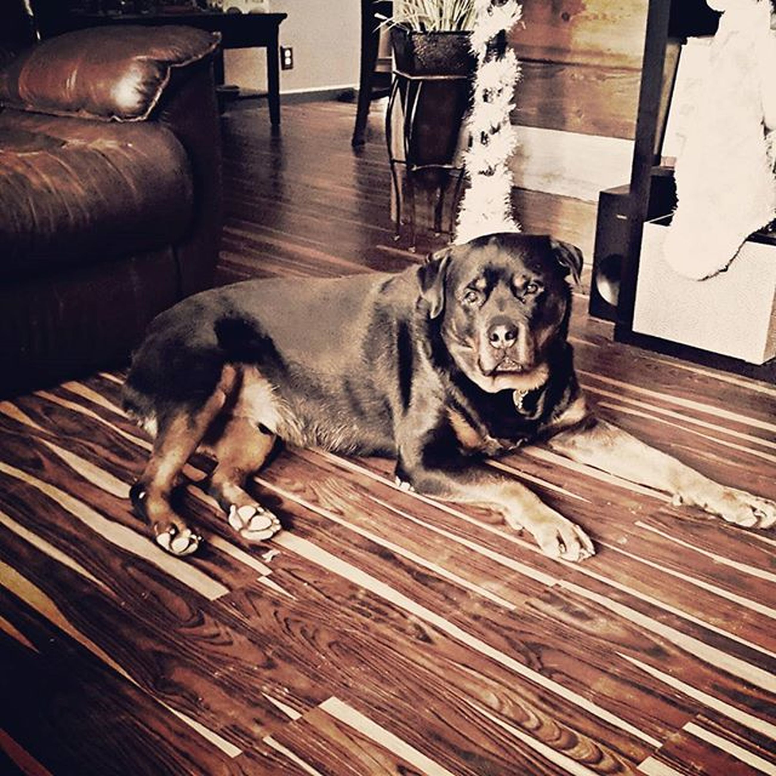 indoors, domestic animals, high angle view, animal themes, pets, mammal, one animal, sitting, dog, relaxation, wood - material, full length, home interior, lifestyles, hardwood floor, lying down, looking at camera, sofa