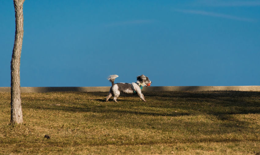 Dog on field against clear blue sky
