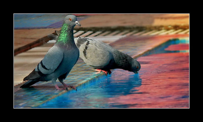 @gpmzn Beautiful Pigeons Birds Drinking Water Feral Pigeons Feral Pigeons Drinking Water Leica Lens Pigeon With Shining Green Neck Pigeons By The Poolside Summer Exploratorium