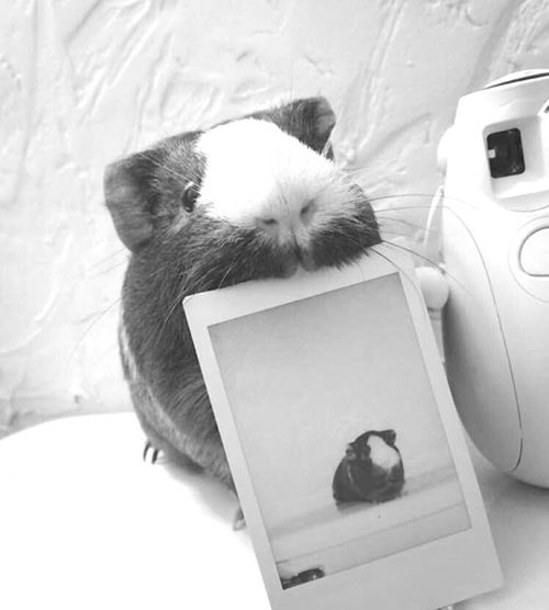 Pretty Beautiful Animal Pets Guineapig Creative Polaroid