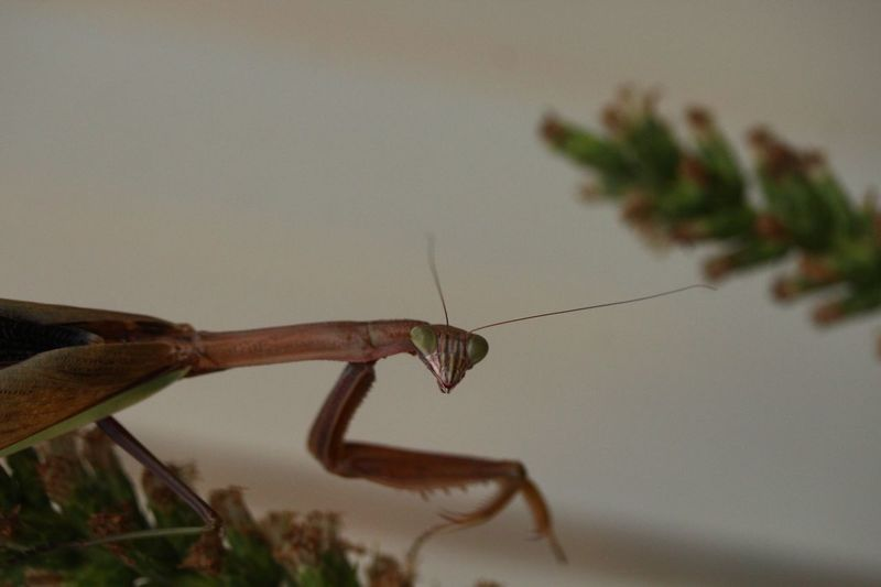 Chinese Mantis Praying Mantis Macro Photography Insect Photography