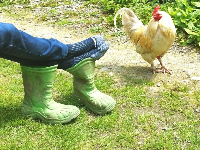 A Country scene. .. Cockerel Chickens Boots Farm Farmlife Wales Country Life Socks Garden Yard Bird Feet Relaxing Resting Peace Simple Life петух сапоги хутор
