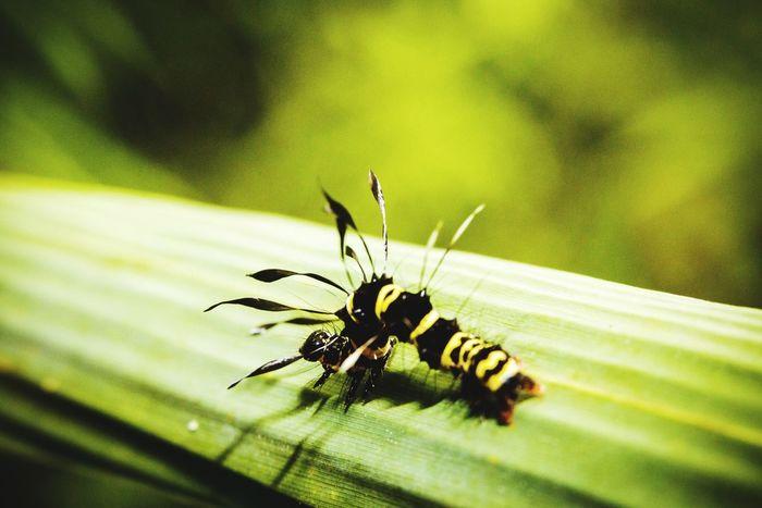 I will walk alone Caterpillar Ever Green Macro_collection Closeup Nature