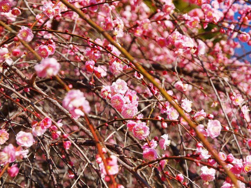 枝垂れ梅 Ume Boke Cute Japan Flowers Spring Spring Flowers Natural Photo