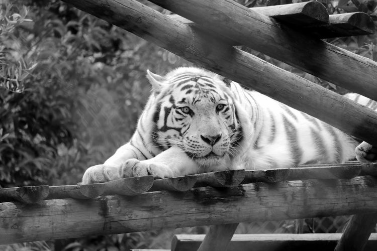 White tiger resting on log in zoo
