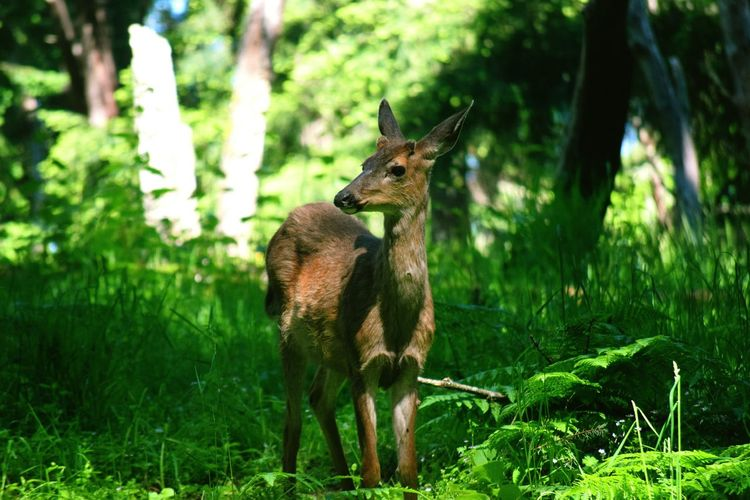Animal Wildlife Animals In The Wild Grass One Animal Forest Animal Themes Nature Mammal Green Color Plant Stag Outdoors Tree No People Standing Day Eating Portrait Beauty In Nature Washington State Plant Traveling Deersinwild EyeEm Selects Nature