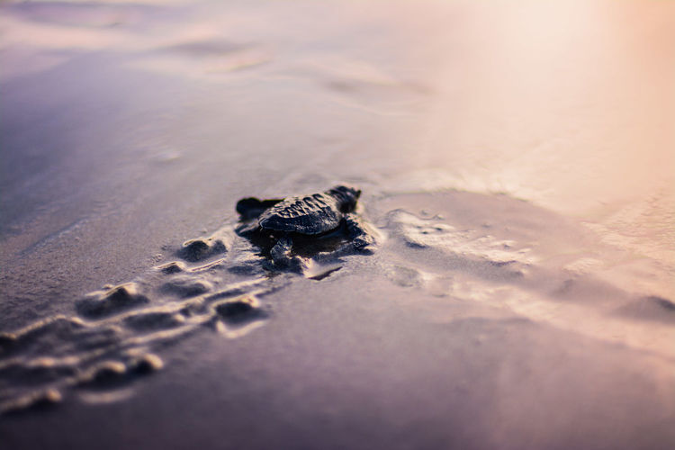 High angle view of turtle on beach during sunset