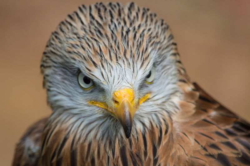 Bird Bird Of Prey Looking At Camera Close-up Animal Themes Beak One Animal Portrait Outdoors EyeEm Birds EyeEm Best Shots - Nature Birds EyeEm Nature Lover Eye4photography  Red Kite Red Kites