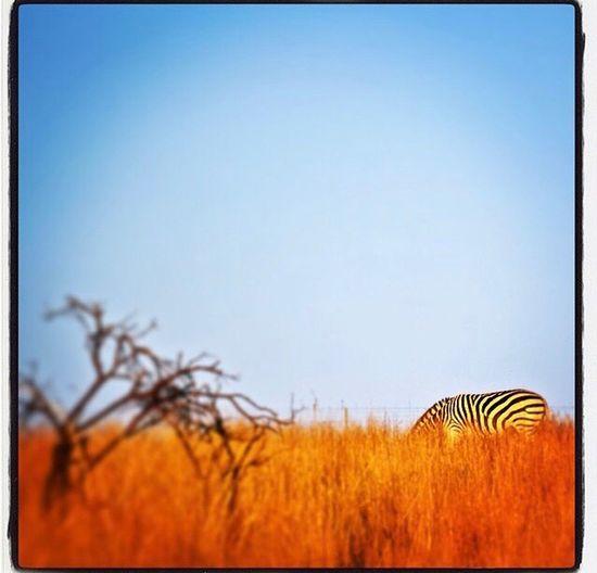 Zebra South
