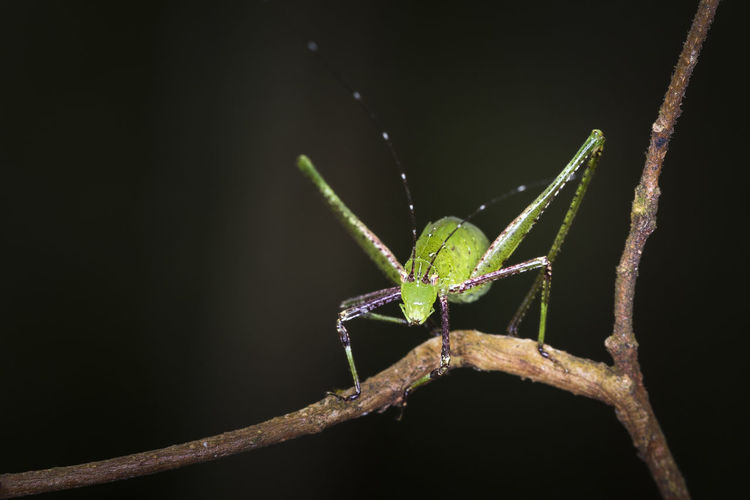 Close-up of phaneroptera sinensis insect on plant