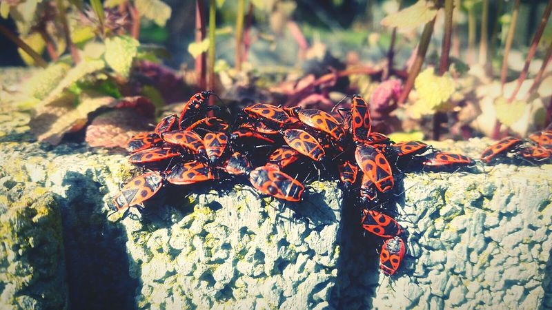 Feuerwanzen EyeEm Nature Lover Nature_collection Insect Photography Check This Out Garten Nature Makes Me Smile Red Feuerwanze
