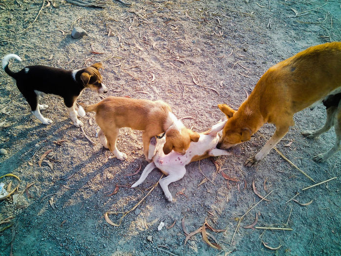 Four stray dogs