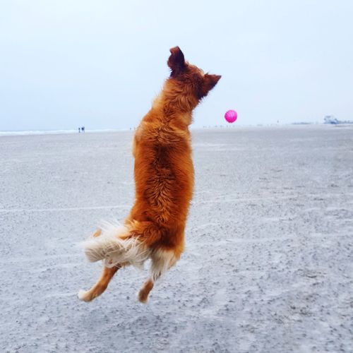 Dog playing with pink ball at the beach. Action Beachlife Letsplay Joy Nordsee Sankt Peter Ording St. Peter Ording Goldenretriever Golden Retriever Urlaubmithund Hundeurlaub Hundestrand Ball Animal Domestic Animals Mammal Playing Outdoors No People Sea Day