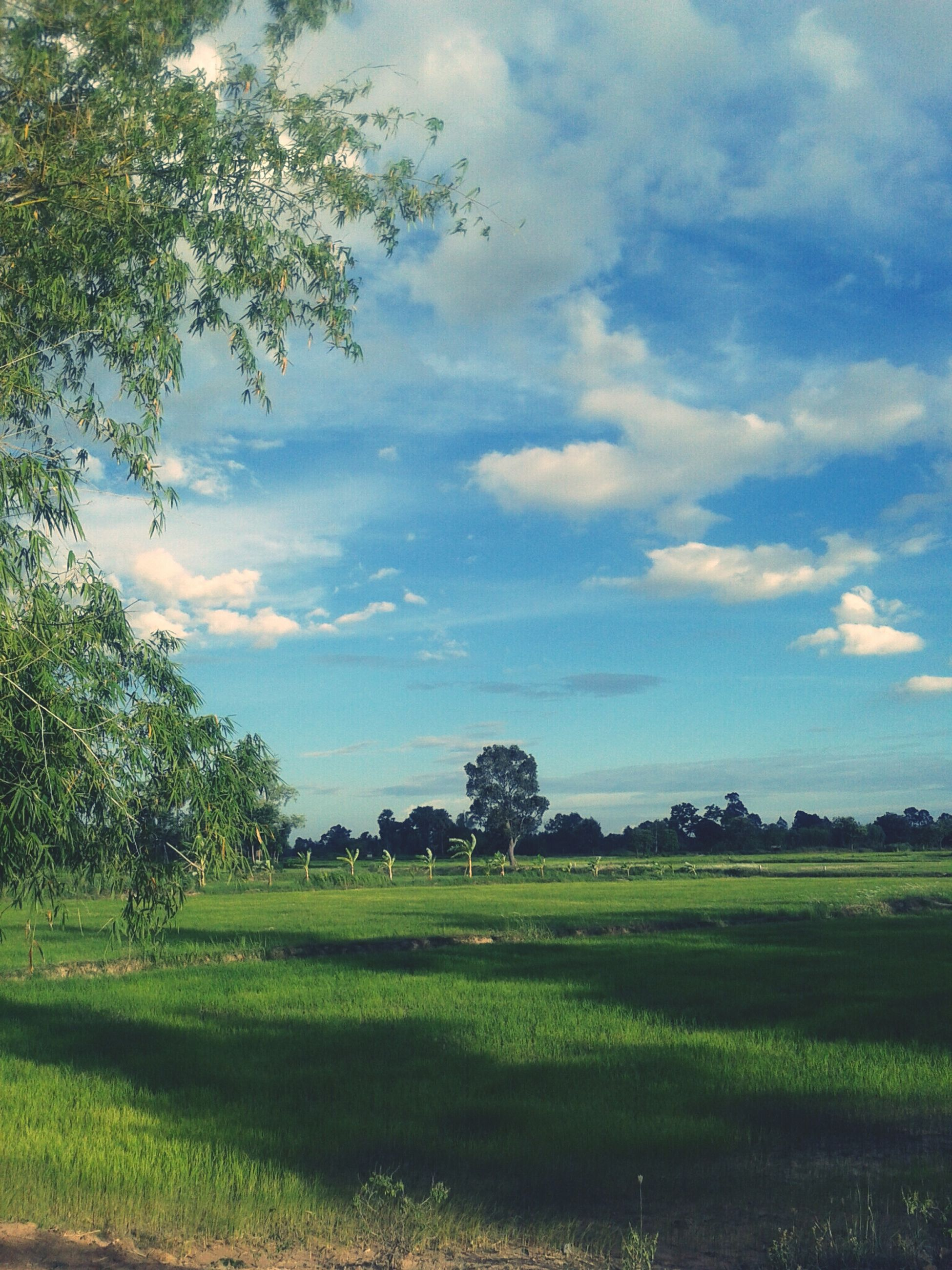 sky, tree, field, tranquil scene, tranquility, landscape, growth, cloud - sky, grass, beauty in nature, green color, scenics, nature, rural scene, agriculture, cloud, cloudy, grassy, farm, plant