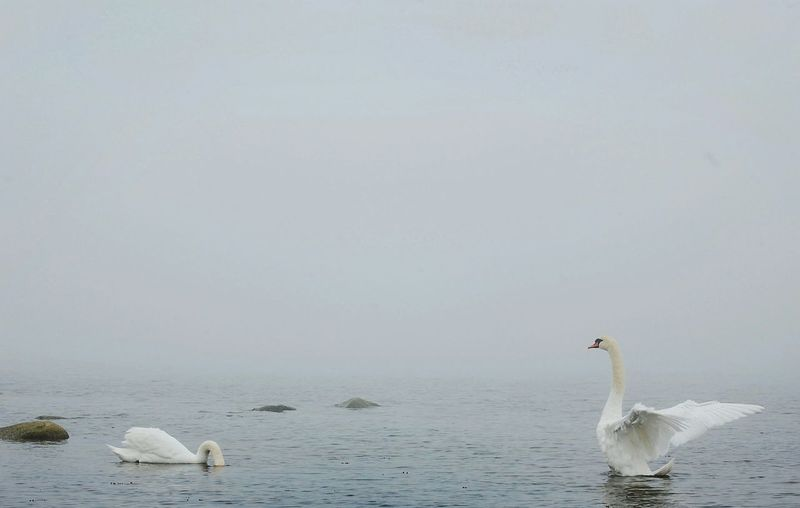 Swans swimming in sea