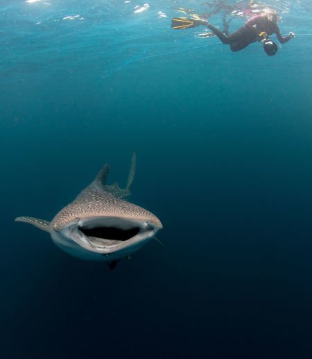 Person And Whale Shark Swimming In Sea