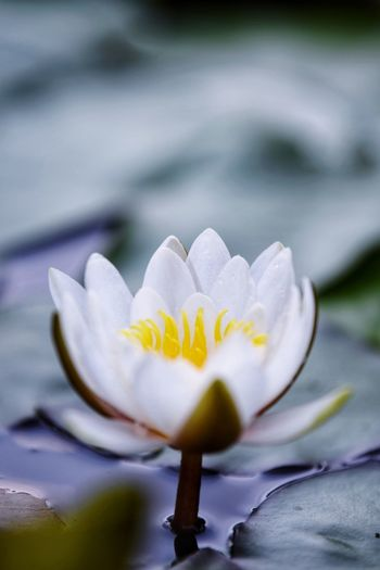 Plant Flowering Plant Flower Freshness Vulnerability  Fragility Growth Beauty In Nature Petal Inflorescence Close-up Water Lily No People Flower Head Nature Purple Pollen Selective Focus Day Leaf