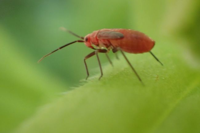 Insect Animal Themes Close-up One Animal Animals In The Wild No People Animal Leg Day Nature Outdoors Redbug Redandgreen