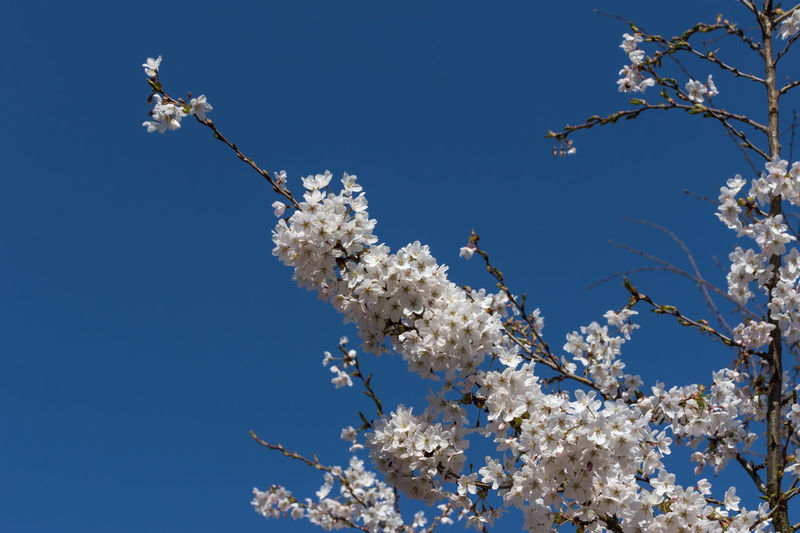 Flowers Flower Flowering Plant Fragility Growth Plant Freshness Vulnerability  Beauty In Nature Day No People Flower Head Nature Tree Sky Low Angle View Branch Blossom Springtime Clear Sky White Color Cherry Blossom Cherry Tree Outdoors