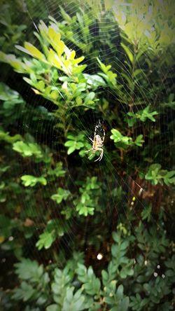 Spider Web Spider One Animal Web Nature Animal Themes Outdoors Animals In The Wild No People EyeEm Nature Lover EyeEm Gallery EyeEm Amateurshot Byondascaptures 2017