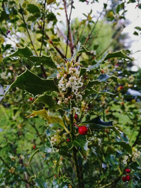 Stechpalme Holly Flower Leaf Red Pink Flowers Blooming Beauty In Nature Freshness Plant Raindrops Garden Rain Green Color No People Outdoors EyeEm Best Shots Eyeem Market EyeEmBestPics VSCO Beauty In Nature Flowers Blooming Green