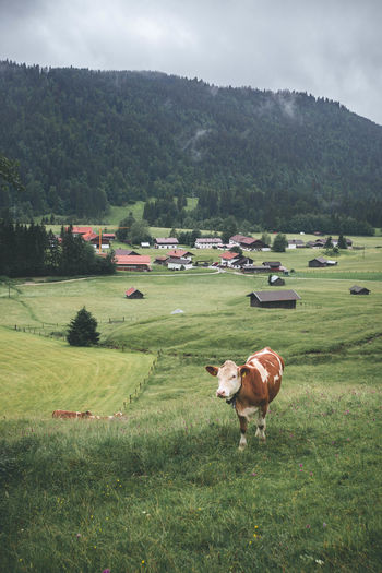 Big and Brown Cow Walking On Green Open Fields in Gerold, Bavarian Alps Grazing Animal Animal Themes Brown Cattle Cow Day Domestic Domestic Animals Environment Field Grass Green Color Land Landscape Livestock Mammal Nature No People Outdoors Pets Plant Tree Vertebrate Walking