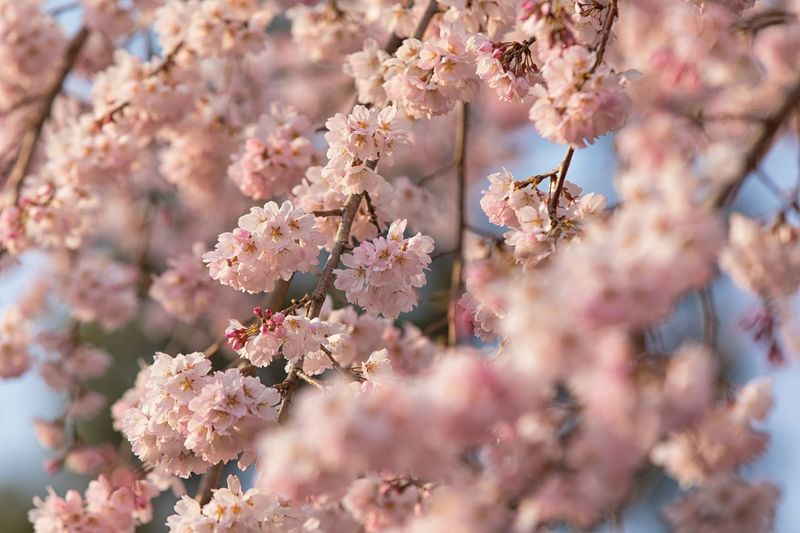 Sakura tree Blooming Sakura Japan Garden Flowering Plant Flower Plant Fragility Freshness Tree Pink Color Blossom Cherry Blossom Beauty In Nature Branch Springtime Outdoors Close-up Growth Nature Day