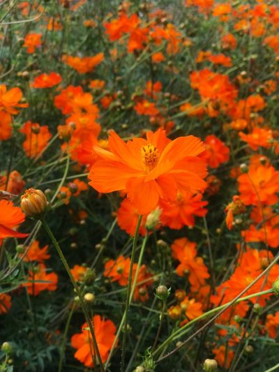Flowering Plant Flower Plant Beauty In Nature Fragility Vulnerability  Orange Color Growth Freshness Flower Head Close-up Focus On Foreground Day Nature No People Outdoors Pollen