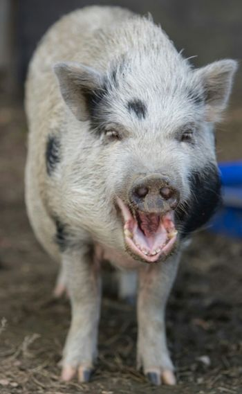 Pig Standing At Farm