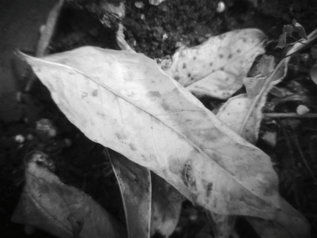 Change Nature Leaf Negro Photo Hoja Seca Foto Blanco Y Negro.