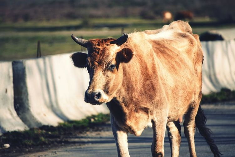 Cow walking on road during sunny day