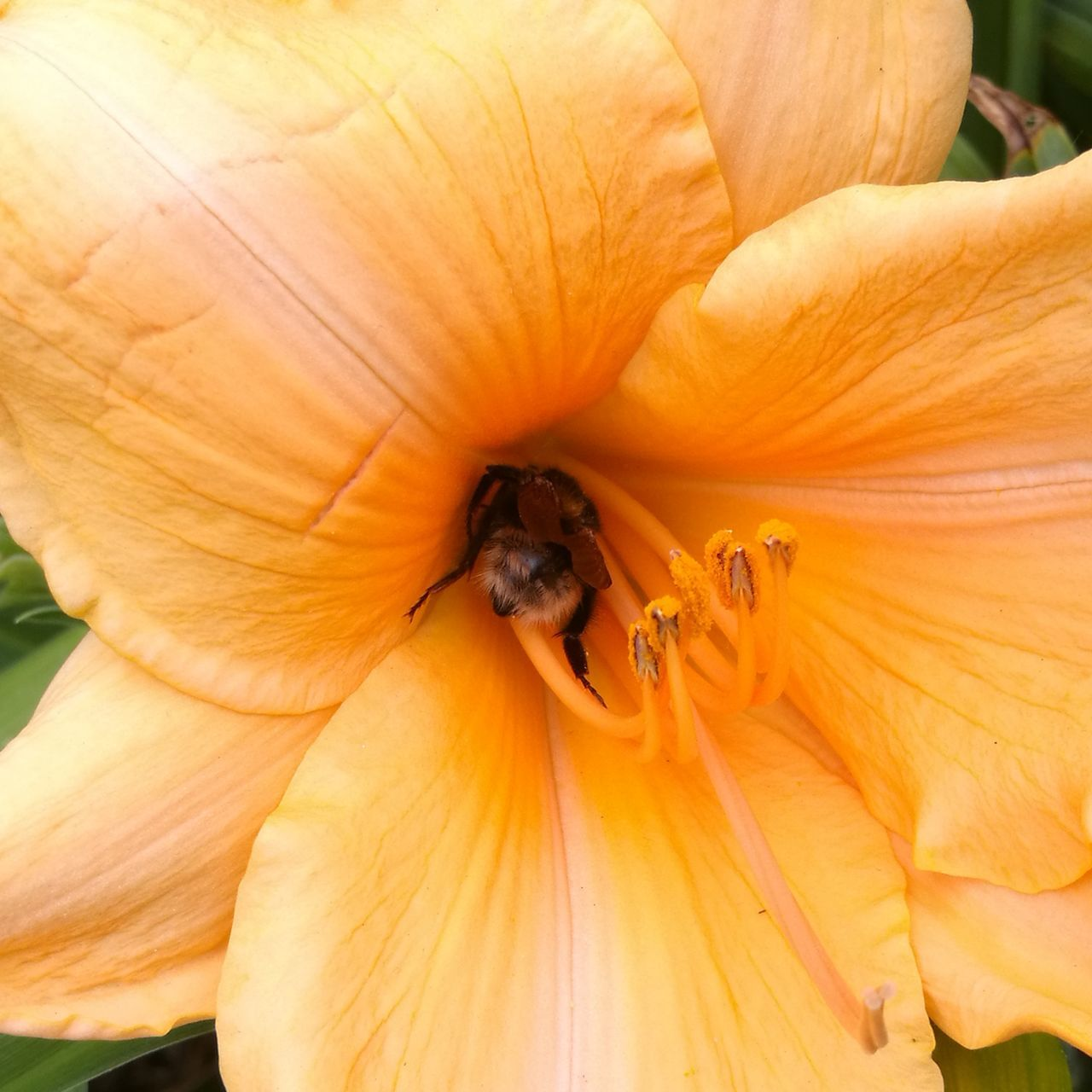 insect, animals in the wild, animal themes, animal wildlife, bee, one animal, wildlife, nature, honey bee, orange color, no people, close-up, outdoors, petal, day, pollen, fragility, growth, apiculture, beauty in nature, flower, flower head, freshness, pollination, buzzing