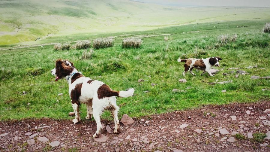 Dogs Springerspaniel Mountainwalking Pen Y Fan Nature