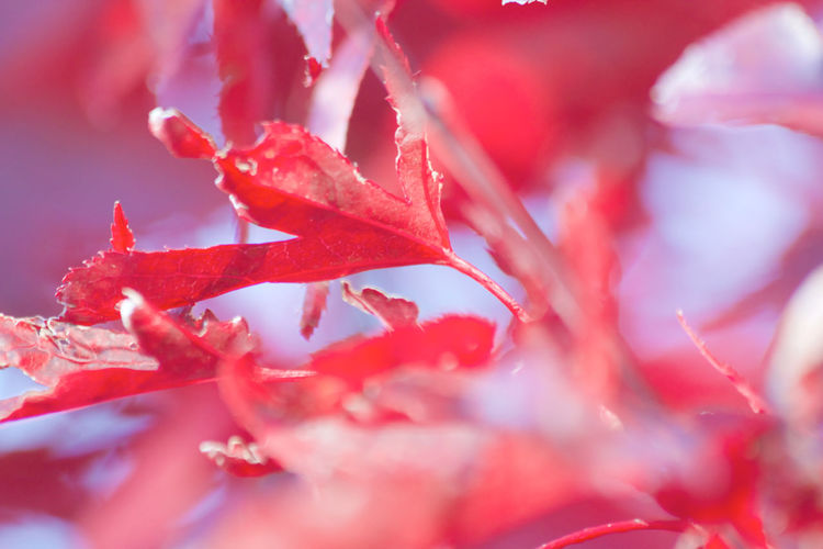 Autumn Beauty In Nature Change Close-up Day Growth Leaf Leaves Maple Leaf Nature No People Outdoors Plant Red Selective Focus
