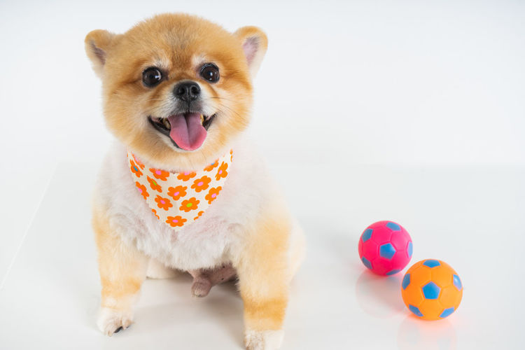 Isolated closeup portrait Pomeranian dog smiling with funny face on the white background. Studio shot of small brown puppy Mammal One Animal Animal Pets Canine Dog Toy Vertebrate Studio Shot Portrait Adorable Dog White Background