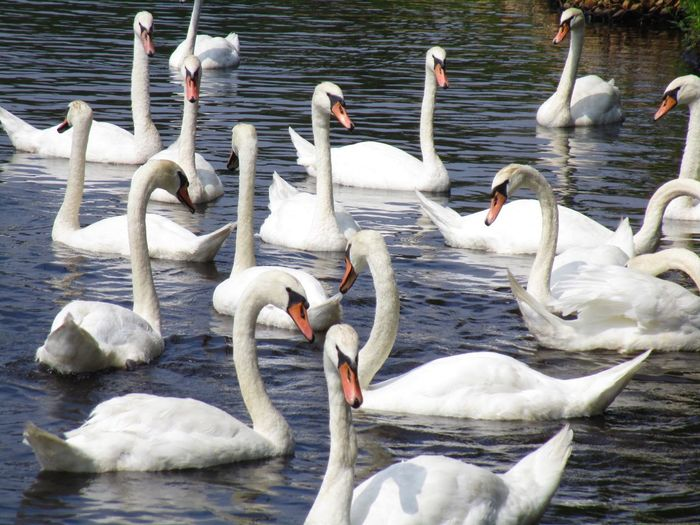 Animal Themes Large Group Of Animals Swans On The Lake White Color Outdoors Swimming Togetherness No People